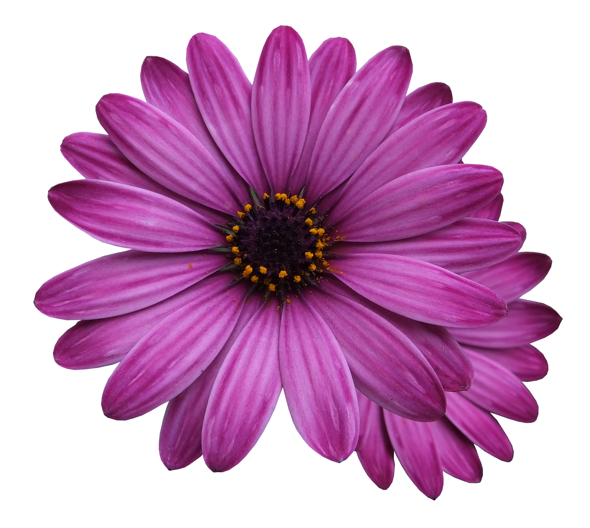 Бархатцы - цветы
