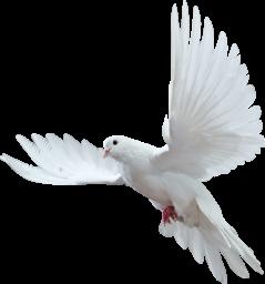 Белый голубь - птица, голубь