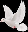 Белый голубь на прозрачном фоне
