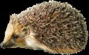 Ёжик на прозрачном фоне