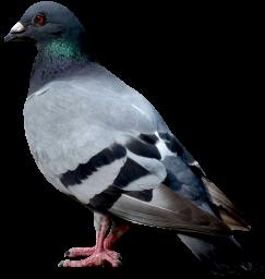 Голубь без фона - птицы, животные, голуби