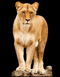 Львица - львица, лев, животные