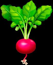 Редис - овощи