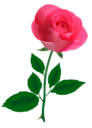 Розовая роза на прозрачном фоне