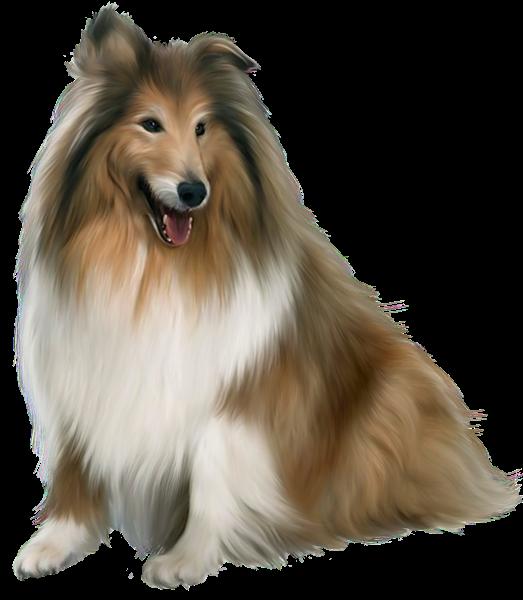 Собака колли - собака, домашние животные