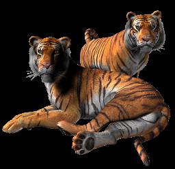 Картинка тигры на прозрачном фоне - тигры, животные