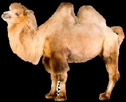 Верблюд - животные, верблюд