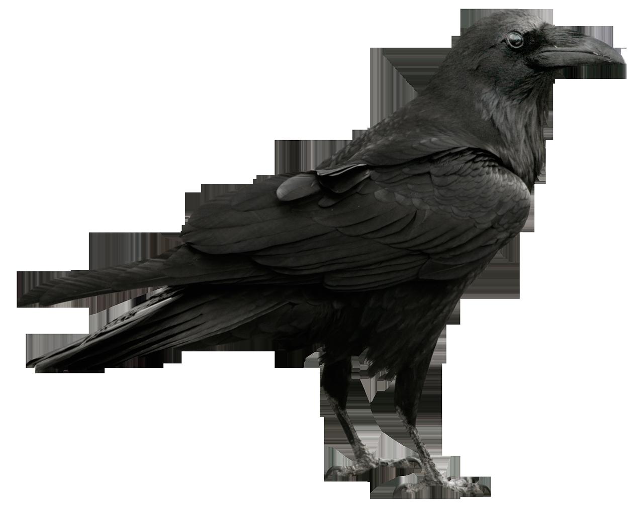 Ворон - птицы, животные, ворон